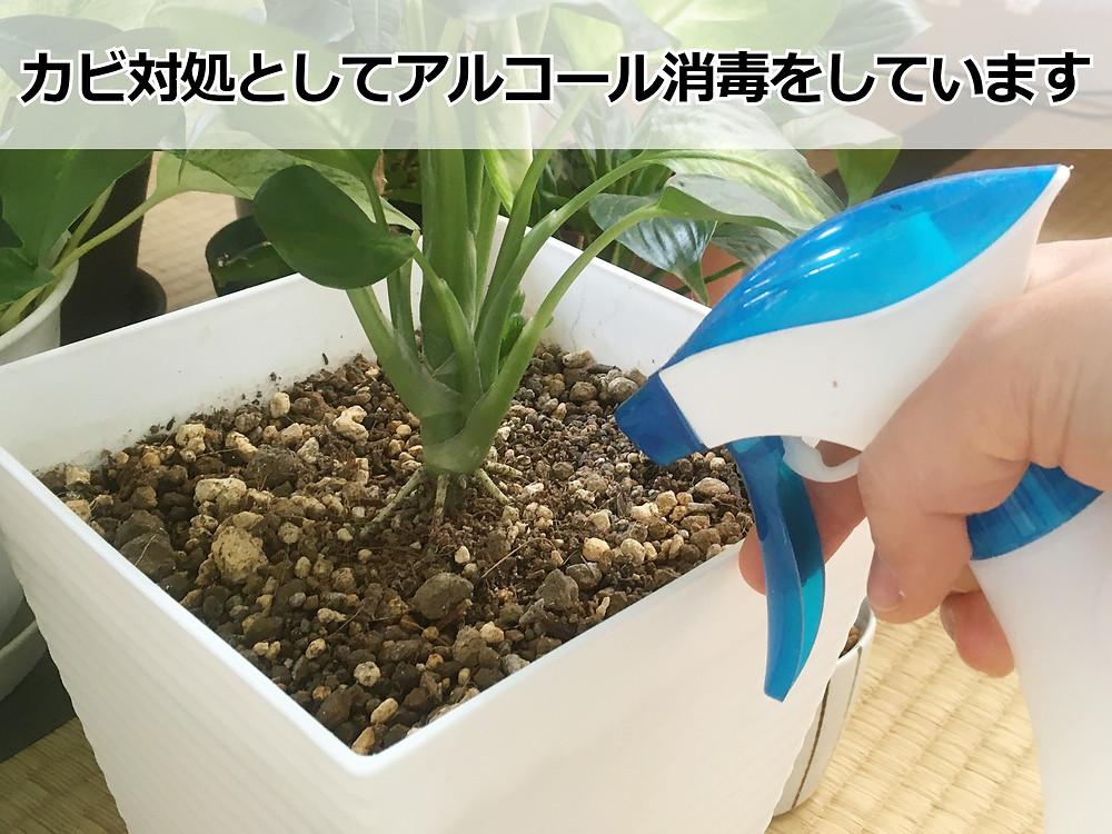 カビの生えた観葉植物を消毒中