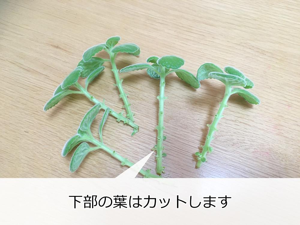 下葉をカットしたアロマティカスの茎