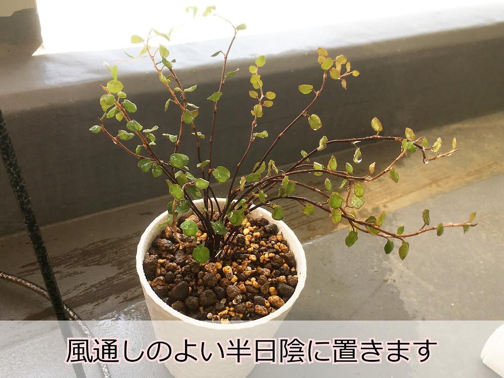 植え替え直後のワイヤープランツの挿し穂