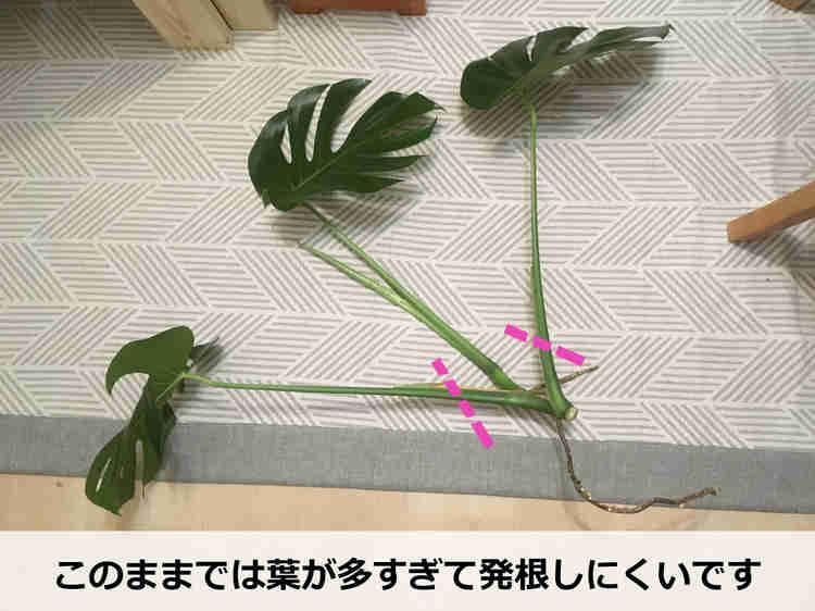 モンステラを増やすためにカットした葉茎