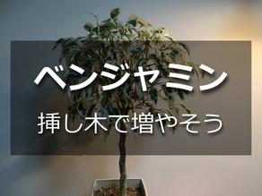 ベンジャミンを挿し木で増やそう【分かりやすく解説!】