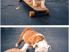 Gus, The Skateboarding Bull Dog