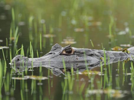 Pantanal, Brésil. Expédition Caiman Jacaré.