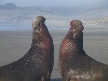Ano Nuevo, California. Joutes sonores chez les éléphants de mer.