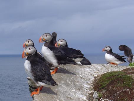 Ile d'Hornoya, Norvège. La falaise aux oiseaux.