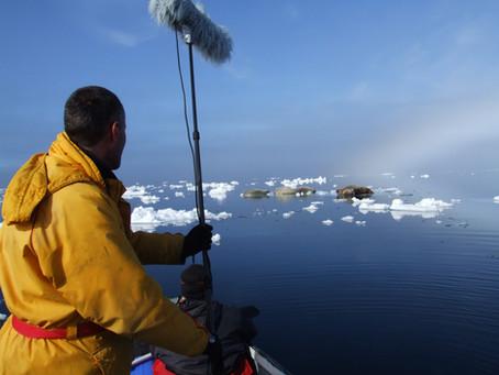 Igloolik, Nunavut, Canada. Reconnaissance vocale mère-jeune chez le morse.