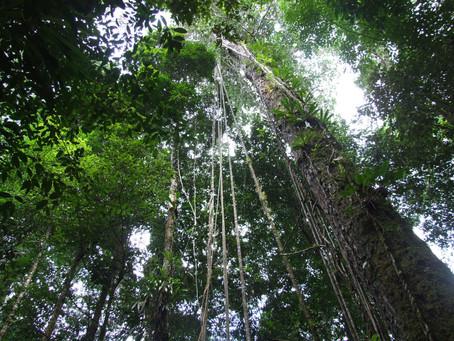 Amazonie, Brésil. Le chant du capitaine de la forêt.