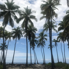 Beautiful stand of coconut trees