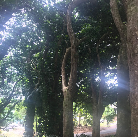Banyan Tree Grove