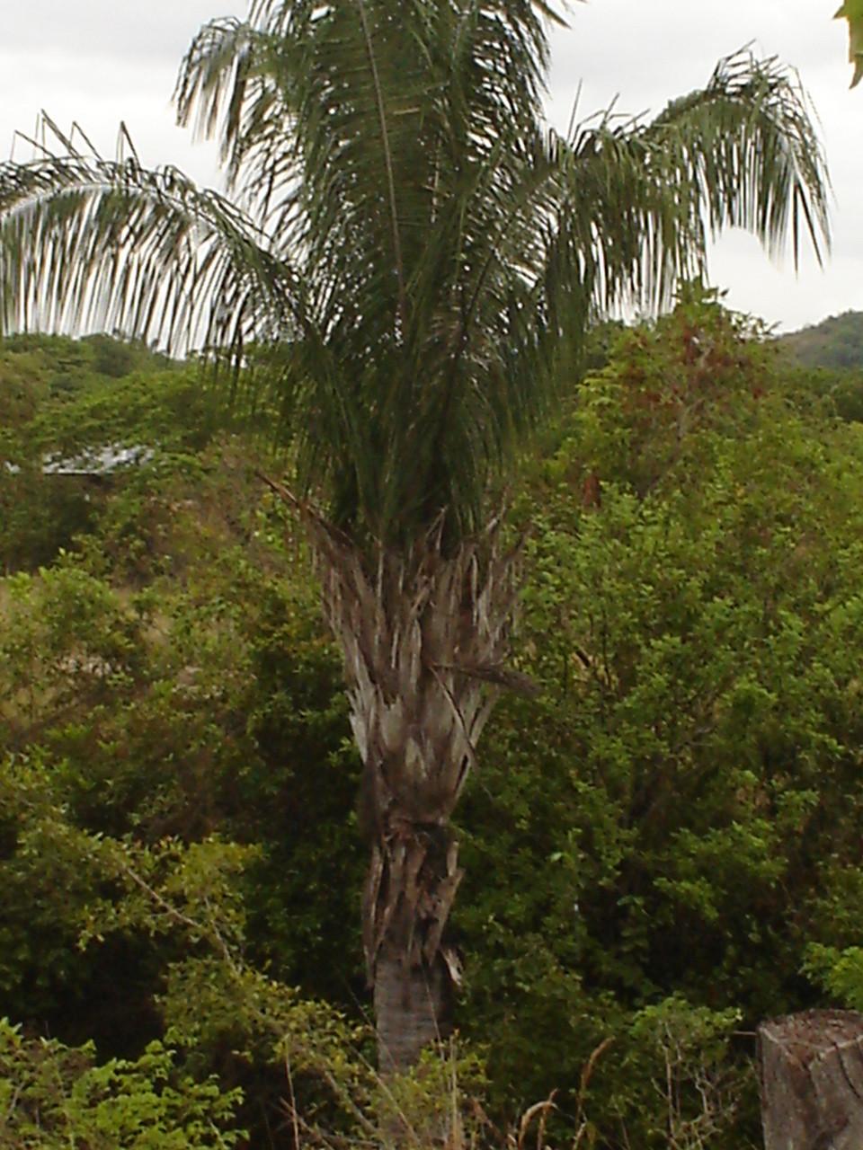 Palma de chuapa, utilizada para la obtención de ceniza Resguardo Chenche Amayarco – Coyaima.