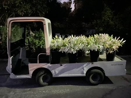 Lily Night Harvest