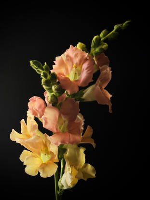 Chantilly Lace Snapdragon