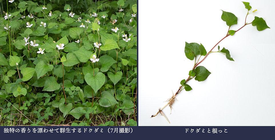 yasou_dokudami.jpg