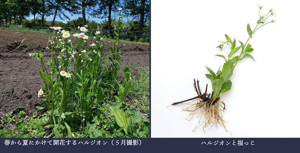 yasou_harujion.jpg