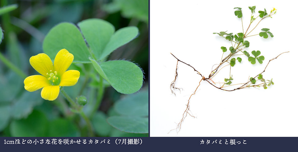 yasou_katabami.jpg
