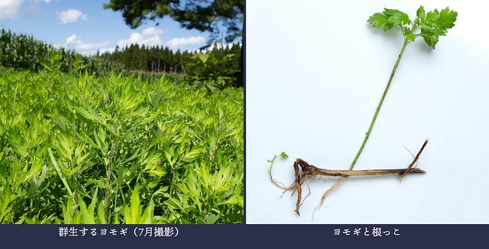 yasou_yomogi (1).jpg