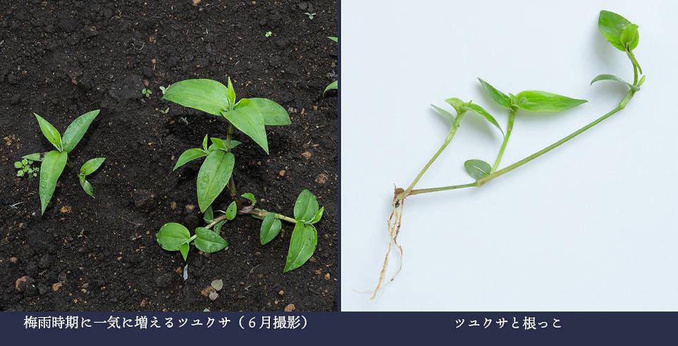 yasou_tsuyukusa.jpg