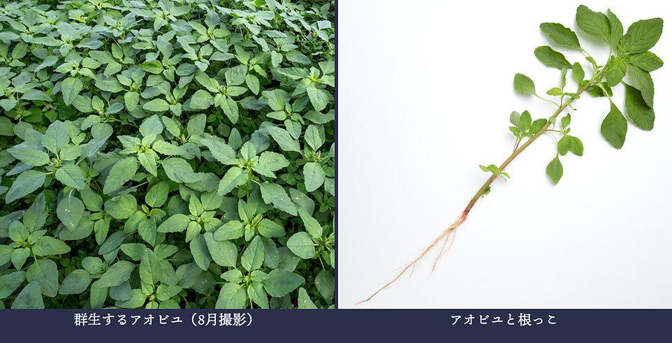yasou_aobiyu.jpg