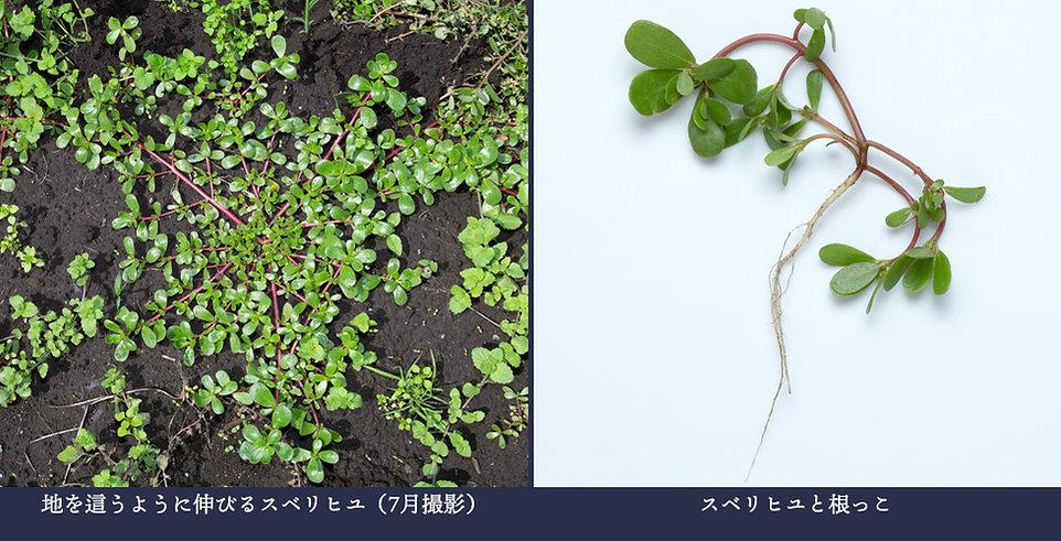 yasou_suberihiyu.jpg