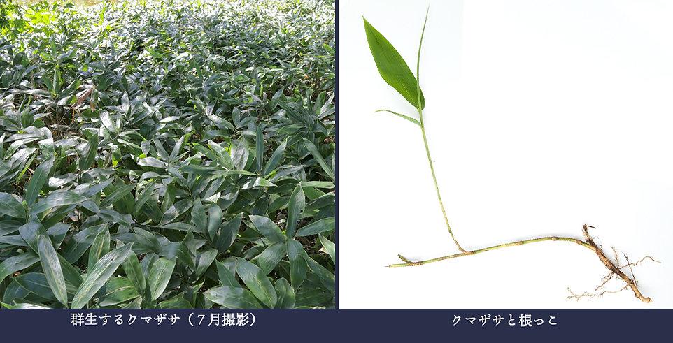 yasou_kumazasa.jpg