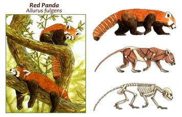 Red Panda Anatomy