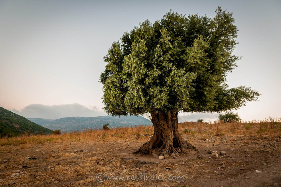 Salame Olive Tree