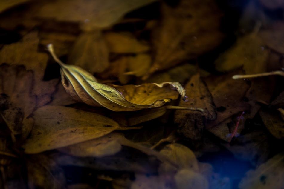 Dead Leaf Submerged