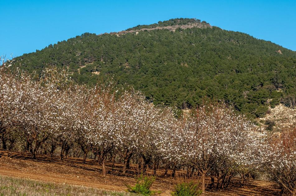 Almond Trees under Mount Tavor_DSC1345 (