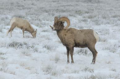 Bighorn Snow
