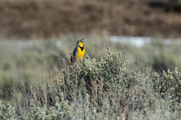 Singing Western Meadowlark-8384-2.jpg