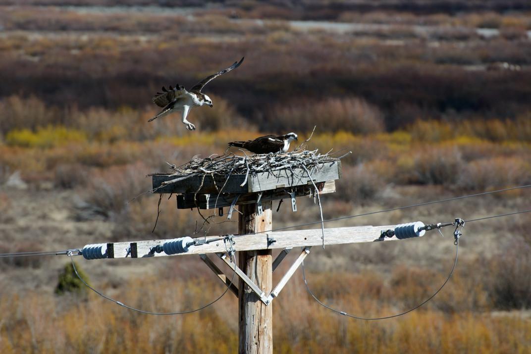 Buff Fork Osprey Landing