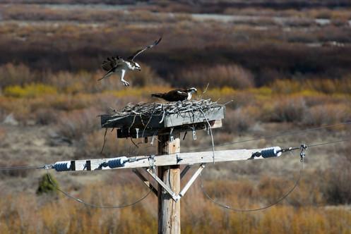 Buff Fork Osprey Landing-7686-2.jpg