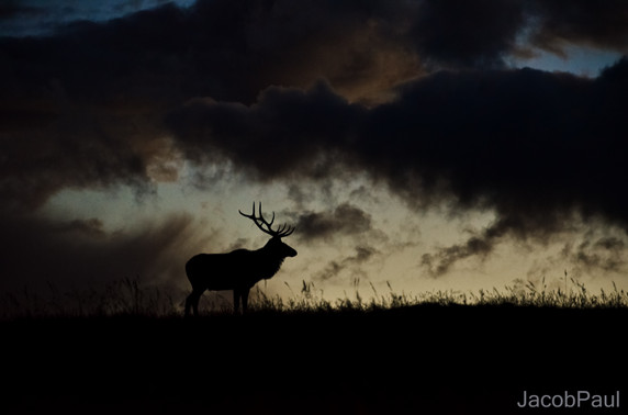 RMNP Elk Silhouette