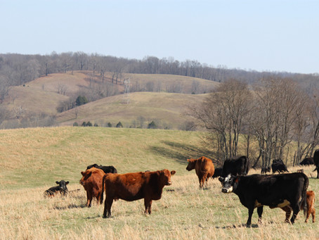 New, Expanded Livestock Marketing Opportunity Comes to Tennessee