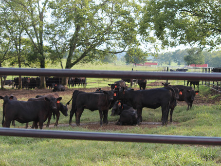 American Angus Assn. Announces the Ten Tennessee Breeders Who Registered the Most Angus