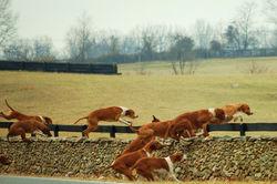 Horses, Hounds, Beagles 076