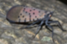 Spotted Lanternfly adult lateral view (G