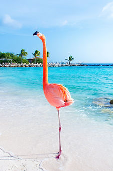 Pink flamingo walking on the beach, Arub