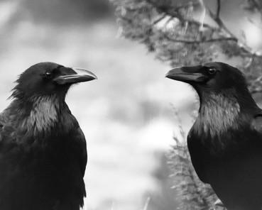 Raven Couple 3