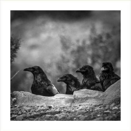 Four Ravens