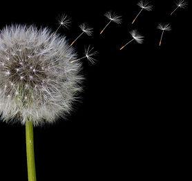 dandelion (9).jpg
