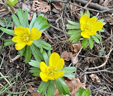 Winter Aconites glow yellow