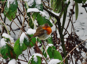 A Robin watches…