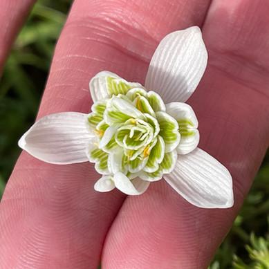 Closeup of a Snowdrop flower's hidden centre