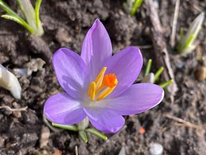 Close-up of a purple Crocus