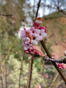 Winter-flowering Viburnum…