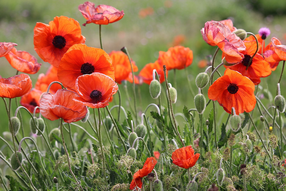 Close-up photo of red field poppies growing wild.