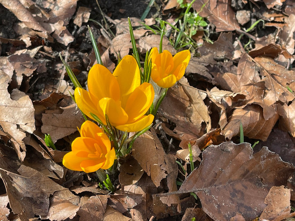 A cluster of yellow Crocus