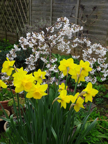 Daffodils and early blossom