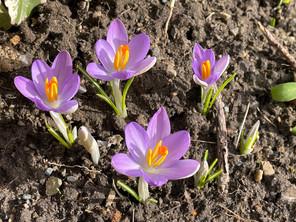A cluster of purple Crocus